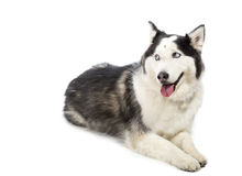 Alaskan Malamute or Husky Dog Isolated on White Royalty Free Stock Image