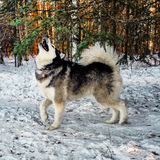 Alaskan Malamute Husky Dog Royalty Free Stock Photos