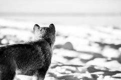 Alaskan malamute looking in the distance in the snow. Alaskan malamute looking in the distance over the snow coverd lake in Sweden Royalty Free Stock Photography