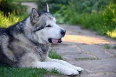 Alaskan Malamute. Lying on the lawn close up Stock Photography