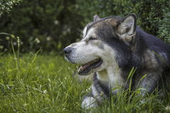 Alaskan Malamute male dog portrait Stock Photography