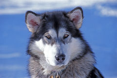 Alaskan Malamute. Male sitting in snow, portrait closeup Stock Image
