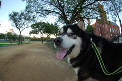 Alaskan Malamute On The Mall In D.C. Stock Photo