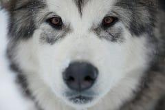Alaskan Malamute muzzle Royalty Free Stock Image