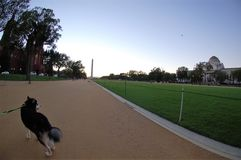 Alaskan Malamute On The National Mall In Washington D.C. Royalty Free Stock Photography