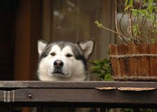 Alaskan Malamute observing. Funny Malamute dog observing behind a wooden pot Royalty Free Stock Photography