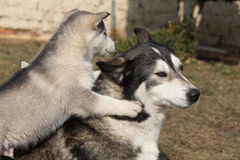 Alaskan malamute parent with puppies Stock Images