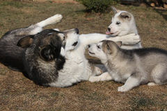 Alaskan malamute parent with puppies Stock Photography