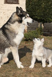 Alaskan malamute parent with puppy Royalty Free Stock Photography