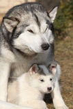 Alaskan malamute parent with puppy Stock Photos