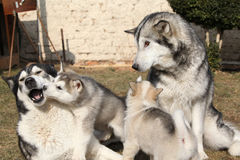 Alaskan malamute parents with puppies Stock Photo