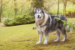 Alaskan Malamute in a park. Alaskan Malamute dog outdoors in nature Royalty Free Stock Image
