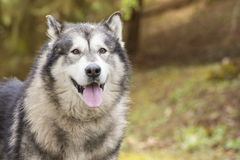 Alaskan Malamute in a park Royalty Free Stock Images
