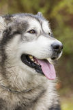 Alaskan Malamute in a park Royalty Free Stock Photography