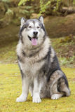 Alaskan Malamute in a park Stock Photo