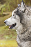 Alaskan Malamute in a park Stock Images