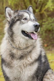 Alaskan Malamute in a park Stock Photos