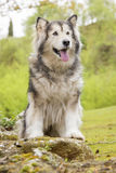 Alaskan Malamute in a park Royalty Free Stock Photo