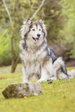 Alaskan Malamute in a park Royalty Free Stock Photos
