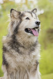 Alaskan Malamute in a park Royalty Free Stock Image