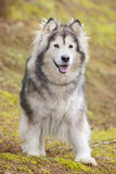 Alaskan Malamute in a park. Alaskan Malamute dog outdoors in nature Stock Image