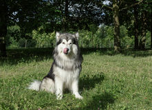 Alaskan Malamute in the park on the green grass Royalty Free Stock Images