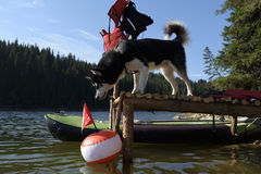 Alaskan Malamute on a pier looking at a buoy. Selective focus Stock Photos