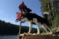 Alaskan Malamute on a pier watching down the water. Selective focus Stock Photography