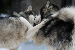 Alaskan malamute playing in  a frozen day Stock Images