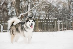 Alaskan Malamute Playing Outdoor In Snow, Winter Season. Playful. Pets Outdoors Stock Images