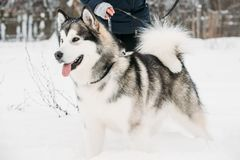 Alaskan Malamute Playing Outdoor In Snow, Winter Season. Playful. Pets Outdoors Stock Photos