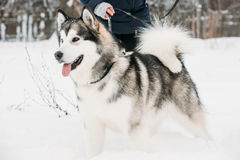 Alaskan Malamute Playing Outdoor In Snow, Winter Season. Playful Royalty Free Stock Photo