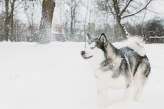 Alaskan Malamute Playing Outdoor In Snow, Winter Season. Playful Royalty Free Stock Photography