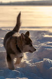 Alaskan malamute playing in the snow. Alaskan malamute playing on a snow coverd lake in Sweden stock images