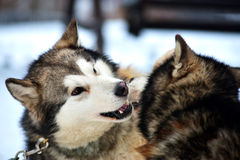 Alaskan Malamute playing in the snow Stock Photos