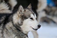 Alaskan Malamute portrait Stock Image