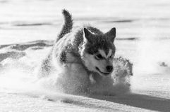 Alaskan malamute pup playing in the snow. Alaskan malamute puppy playing in the snow in a strong winter in Sweden Stock Photo