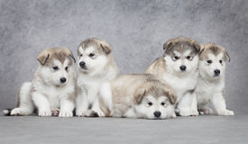 Alaskan malamute puppies. One month old alaskan malamute puppies against grey background Stock Image