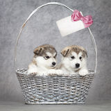 Alaskan malamute puppies in a basket Stock Image