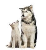 Alaskan Malamute puppies and his mum sitting Royalty Free Stock Image