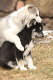 Alaskan Malamute puppies playing Stock Photos