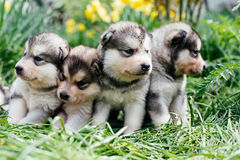 Alaskan malamute puppies. Playing in garden Royalty Free Stock Photos
