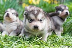 Alaskan malamute puppies Stock Images