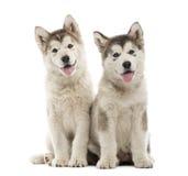 Alaskan Malamute puppies sitting and panting Stock Images