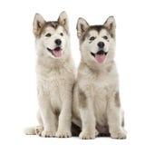 Alaskan Malamute puppies sitting and panting Royalty Free Stock Photos