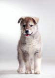 Alaskan malamute puppy Royalty Free Stock Image