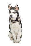 Alaskan Malamute puppy Royalty Free Stock Photos
