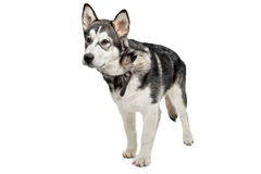 Alaskan Malamute puppy Royalty Free Stock Images