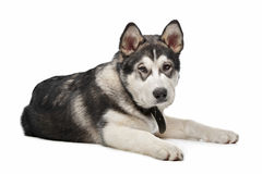 Alaskan Malamute puppy Royalty Free Stock Photography