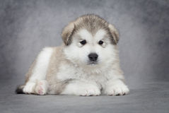 Alaskan malamute puppy Stock Images